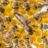 Blütengold Bienenkönigin biozertifiziert