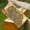Jungvolk Zander m. Bienenkönigin