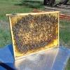 Jungvolk Zander Jumbo m. Bienenkönigin